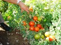 High yielding tomatoes